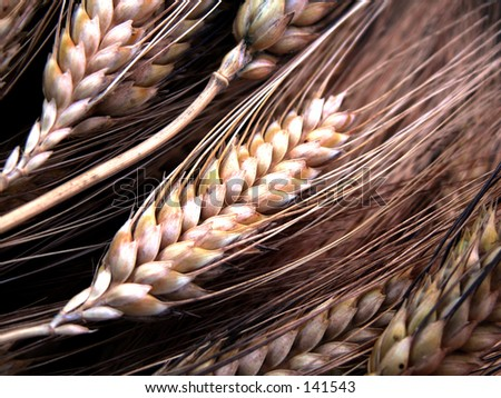 Wheat 1 - stock photo