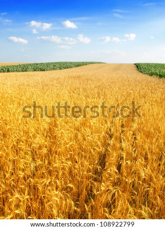 wheat and blue sky - stock photo