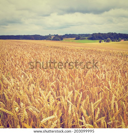 Wheat and Corn Fields in Bavaria, Germany, Instagram Effect