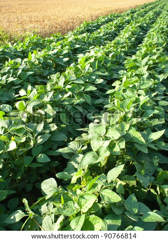 wheat and soybean fields - stock photo