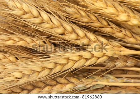 wheat as background - stock photo