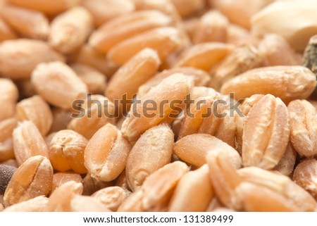 wheat as background. macro - stock photo
