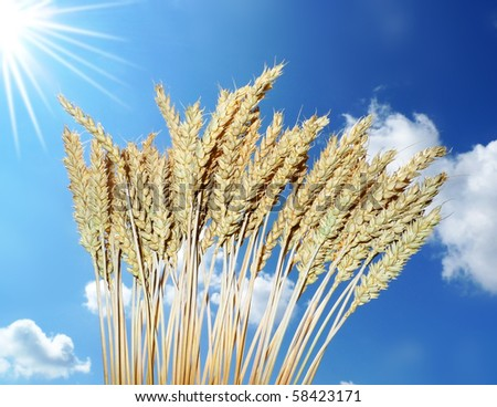 wheat at sunny day