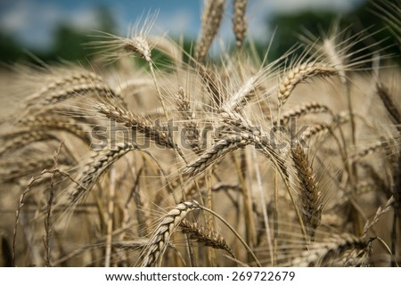 Wheat Beards. Close up image of a wheat field showing beards and kernels of the wheat plant. - stock photo