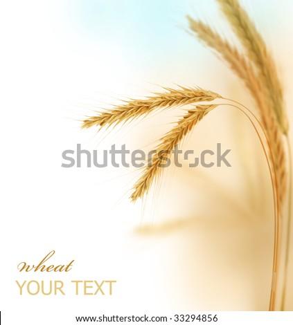 Wheat Border - stock photo