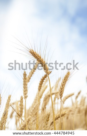 Wheat Cereal Farming Agriculture Season Food  Lens Flare