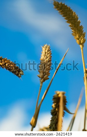 Wheat close up - stock photo