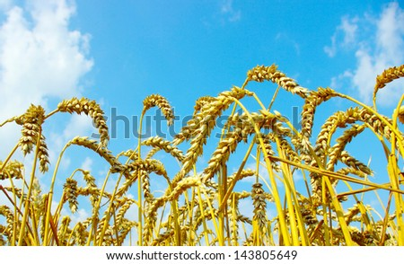Wheat close-up, with sunny sky - stock photo