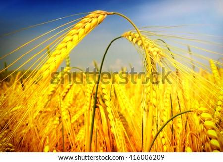 wheat, closeup - stock photo