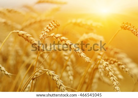 Wheat closeup.