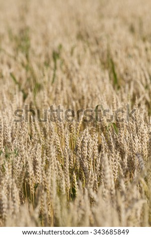 Wheat crop - stock photo