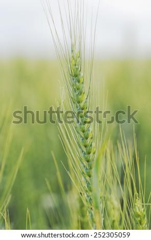 Wheat crop close-up - stock photo
