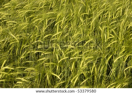 wheat crop field basking in warm spring sunlight - stock photo