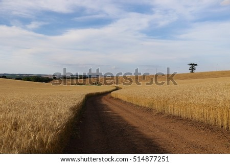 Wheat crops and beautiful blue sky in the countryside of Brazil. Wheat ready to be harvest in the summer to produce bread and food.