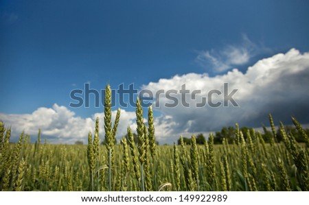 Wheat crops plant field in summer
