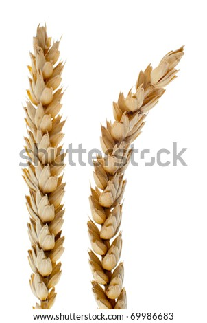 Wheat detail isolated on white background. - stock photo