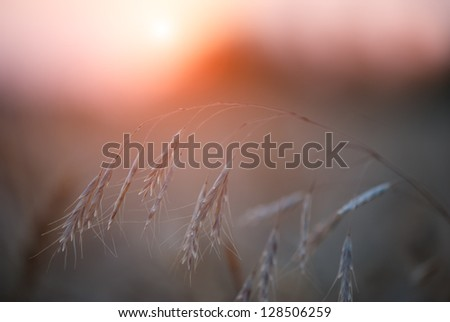 Wheat during sunset with shallow depth of field - stock photo
