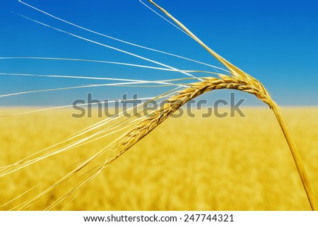 wheat ear close up and yellow field with blue sky like ukrainian flag - stock photo