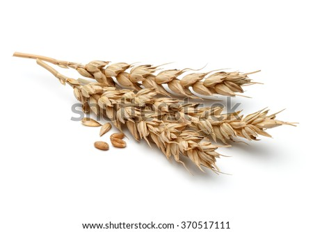 wheat ear isolated on white background cutout - stock photo