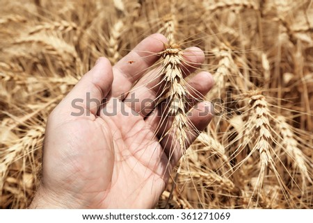 Wheat ear on a farmer hand palm with blur wheat field in the background  - stock photo