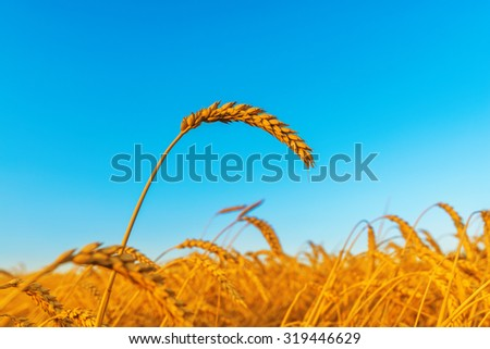 wheat ear on field, sunset time - stock photo