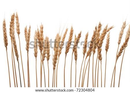 Wheat ears - stock photo