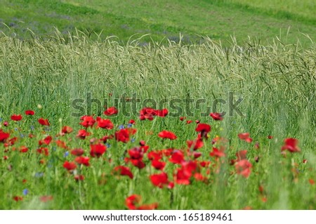 Wheat ears and defocused wild poppies - stock photo