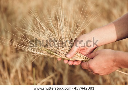 Wheat ears barley in the hand. Harvest agriculture summer concept. Woman hand with golden cereal.