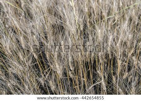 Wheat ears field - stock photo