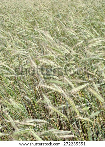 Wheat ears in the field  - stock photo
