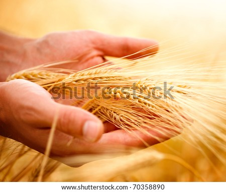 Wheat ears in the hands.Harvest concept - stock photo