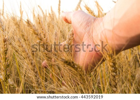 Wheat ears in the man's hand. Field on sunset Harvest concept. - stock photo