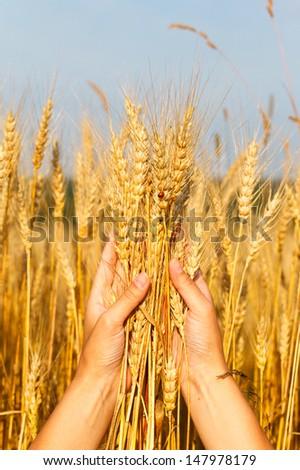 Wheat ears in the women hand - stock photo