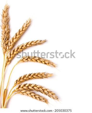 Wheat ears isolated on the white background - stock photo