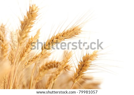 Wheat ears isolated on white. - stock photo