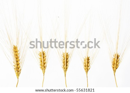 Wheat ears isolated over white background