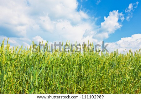 Wheat ears on a background of cloudy sky