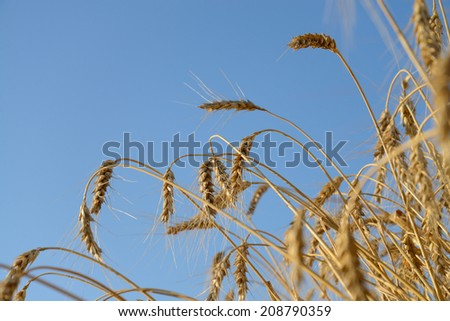 Wheat ears on a background the field and blue sky  - stock photo