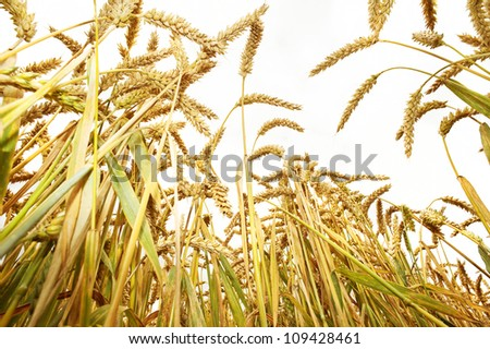 wheat ears on the field - white background