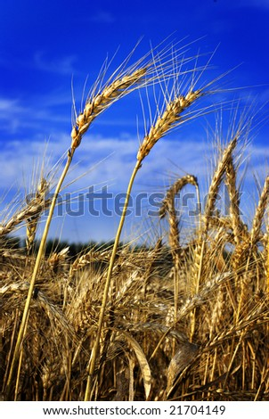 wheat ears standing out against beautiful blue sky