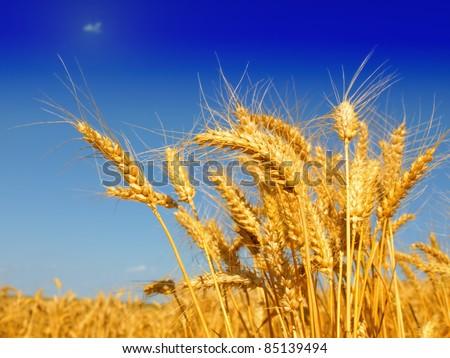 Wheat field against a blue sky - stock photo