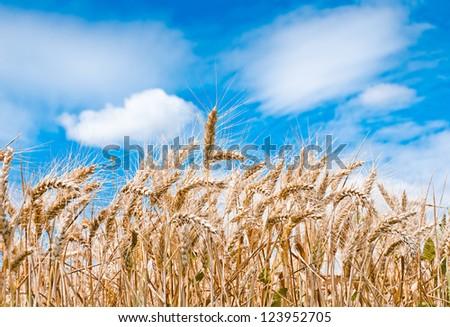 Wheat field against a blue sky, France - stock photo