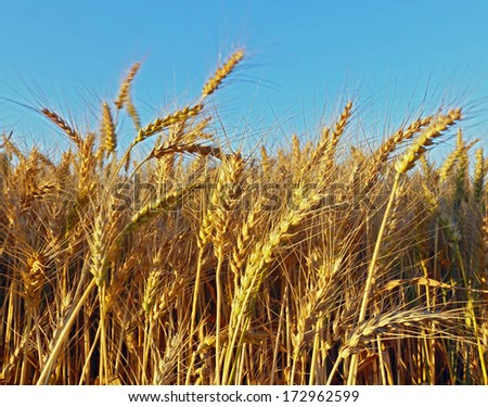 Wheat field against a blue sky - Israel