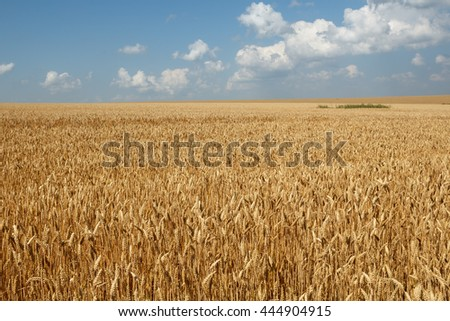 Wheat field against blue sky and beautiful clouds - stock photo