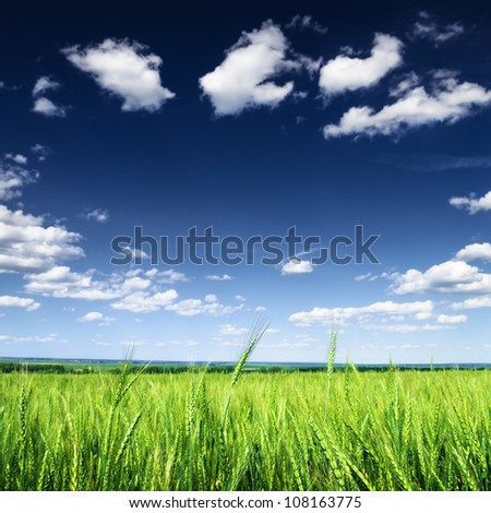 Wheat field against blue sky with white clouds. Agriculture scene - stock photo