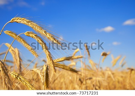 Wheat field against deep blue sky, close up - stock photo