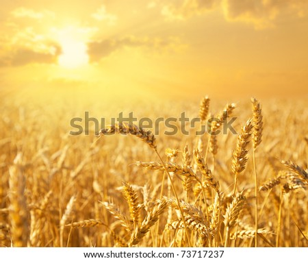 Wheat field against golden sunset - stock photo