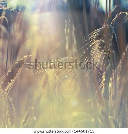 wheat field against sunlight - stock photo