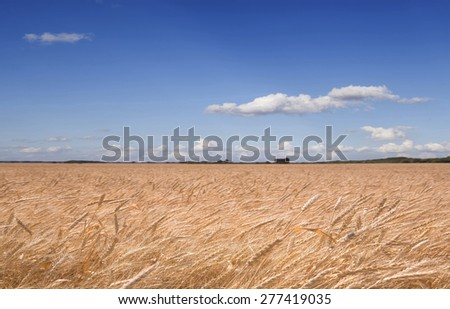 Wheat field against the blue sky with clouds/