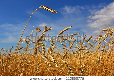 wheat field against the sky - stock photo